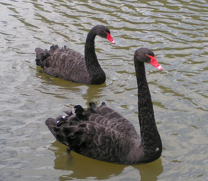 Improbably Black Swans